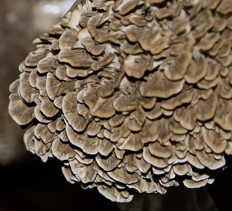 Substrat per al cultiu de gírgola de castanyer/Maitake eco (Grifola frondosa)