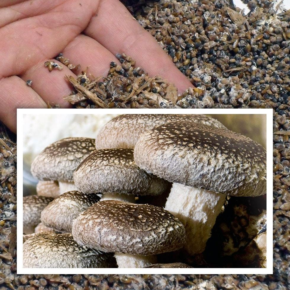 Semilla de shiitake (Lentinula edodes)