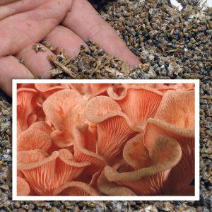 Semilla de seta de ostra rosa 600g/2,8kg (Pleurotus salmoneo-stramineus)